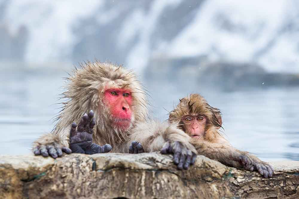 Hakuba Activities - Snow Monkeys
