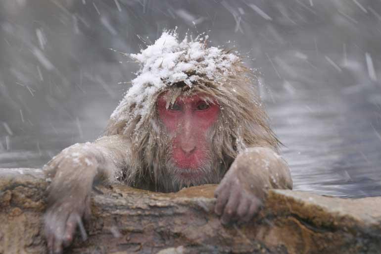 Snow Monkeys - Shiga Kogen